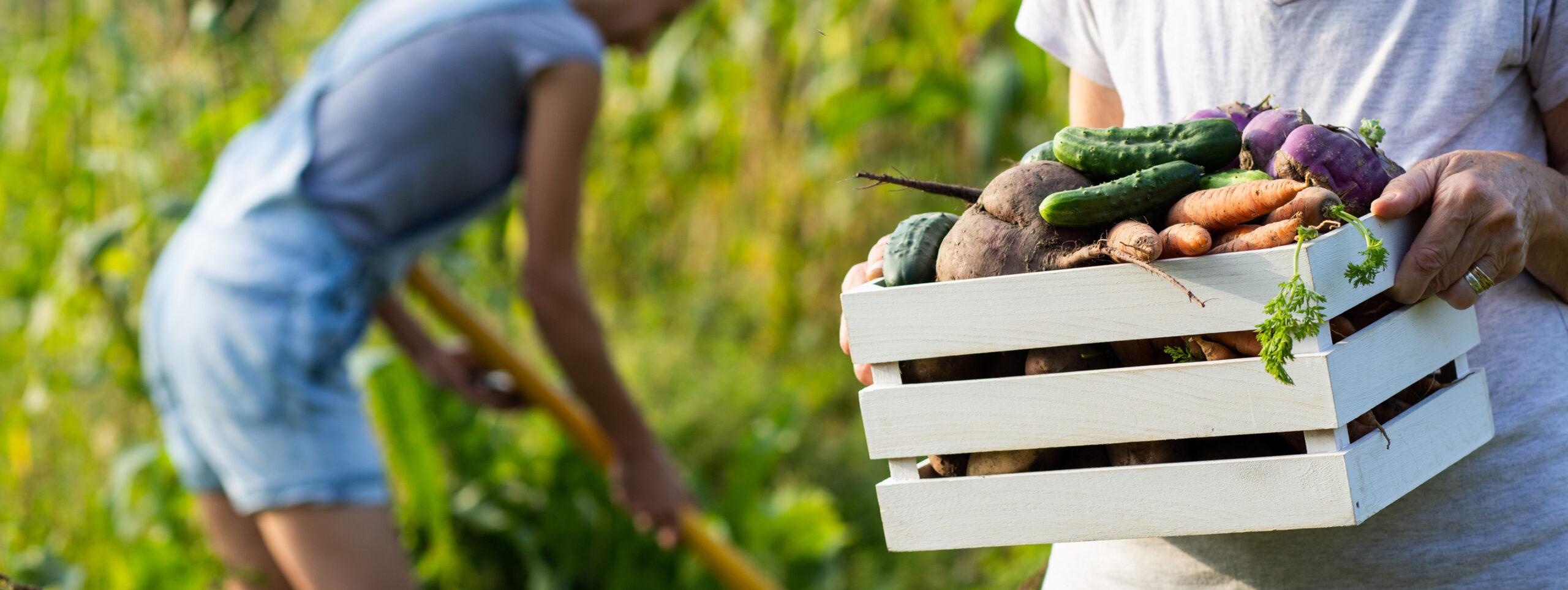 growing organic food female farmer harvesting fresh vegetables from garden, beetroot, carrots, potatoes